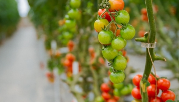 Праздник урожая на шести сотках: время собирать помидоры