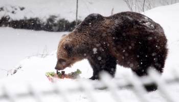 С днём рождения, Илзите! Самой известной медведице Латвии - 19!