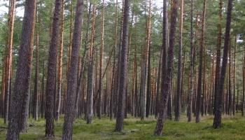 Vai Latvijā mežus izzāģē vairāk nekā mums šķiet?