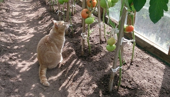 Audzējam tomātus, gurķus un dažādus garšaugus. Dārznieču padomi labai ražai