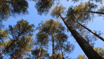 Stādām mežu! Populārākie ir bērzu, egļu un melnalkšņu stādi