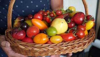 Laiks tomātiem!