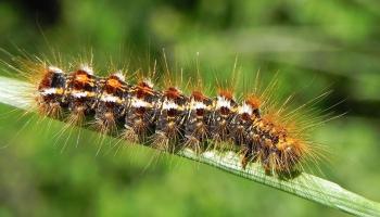 Осторожно, златогузка: чем опасна расплодившаяся в Латвии гусеница