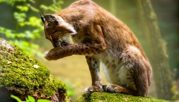 Glābt savvaļas zvērus un putnus: izārstēt un palaist mežā, varbūt pieradināt