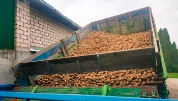 Otrās maizes - kartupeļu raža šogad vidēji laba