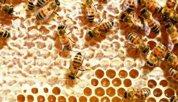 Почему вымирают пчёлы?