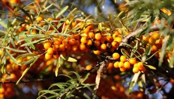 Gundara Bojāra biosaimniecība - upeņu un smiltsērkšķu audzēšanas nianses
