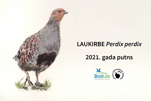 Laukirbe izraudzīta par gada putnu 2021.gadā