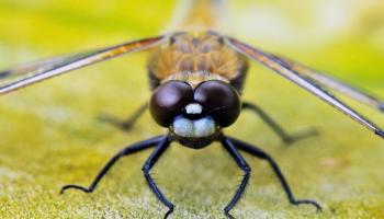 Стрекозы: идеальные убийцы и санитары природы