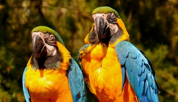 Papagaiļus gaidot