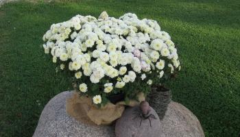 Dārza darbi: puķu kopšana un audzēšana vasaras vidū