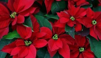 """""""Es skaistu rozīt' zinu"""" - Ziemassvētku korālis, kas dzimis Vācijā"""
