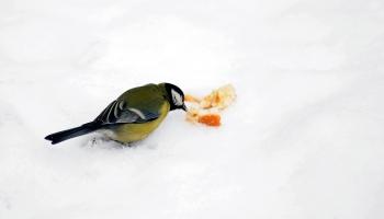 Птицы зимой: подкармливать или нет?
