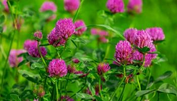 Латвийская инновация: экстракты из лекарственных растений для красоты и здоровья