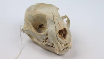 Skat - logā skelets!