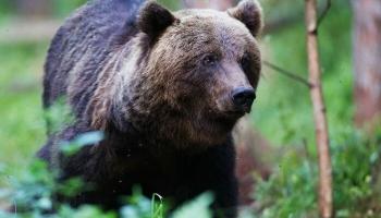 Par brūno lāču gaitām Latvijā un Igaunijā un izstādi Dabas muzejā