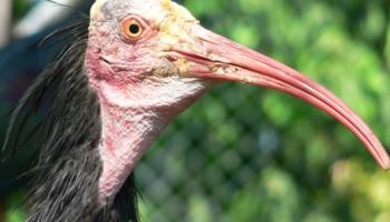 Ūbele, lidvāvere un ibiss