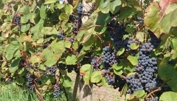 Виноградник в Сабиле