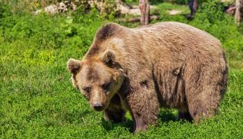 Медведи в Латвии: почему косолапые зачастили в наши леса?