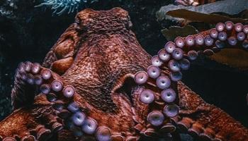 Astoņkāji - dzīvnieki, kas spēj nodibināt draudzību ar cilvēku un labprāt spēlē spēles