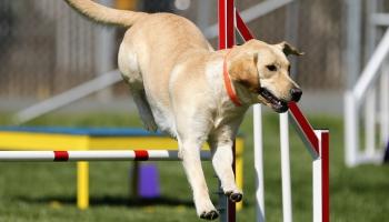 Школа для собак. Аджилити