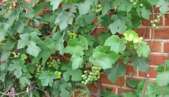 Dārza darbi: Īstais laiks rūpēties par labu vīnogu ražu