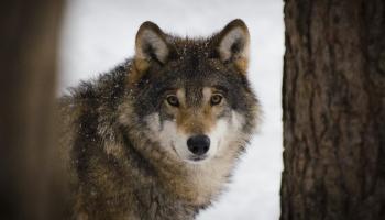 Сколько волка не корми, он - волк: что произошло во французском зоопарке EcoZonia