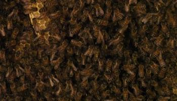 Mārcis Bauze-Krastiņš par bišu atgriešanu mežā