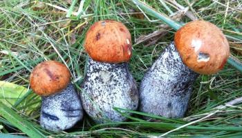 Тяжёлая пища или кладезь микроэлементов? Как приготовить грибы с пользой для здоровья