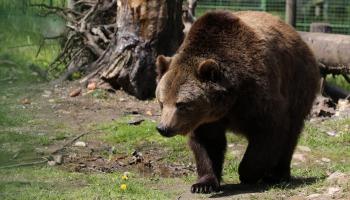 Lāči Latvijas mežos
