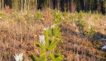Mežus atjaunojam arvien vairāk, bet vairāk arī izcērtam