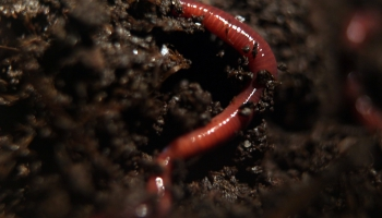 Kaspars Purlācis par augsnes bagātināšanu un sliekām