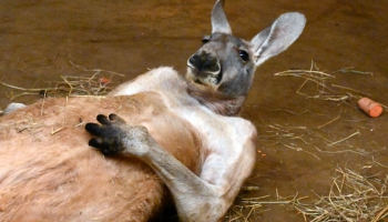 """""""Дайте им спать спокойно"""": зоопарк о """"неестественных позах"""" сна своих обитателей"""