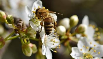 Dabas sargi arvien ceļ trauksmi par apdraudējumiem pasaules bišu populācijai