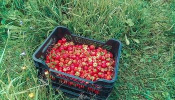 Lauksaimniecībā trūkst gan kvalificēta darbaspēka, gan palīgstrādnieku