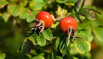 Боярышник, шиповник, барбарис: какие ягоды здоровья посадить на своем участке?