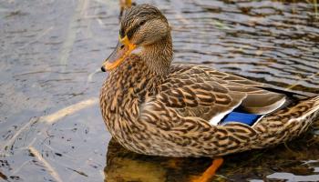 Птичий грипп у водоплавающих птиц: чего следует остерегаться?