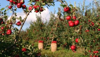 Patulīns – bīstams toksīns, kas visvairāk sastopams bojātos ābolos