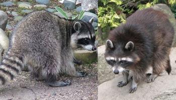 Jenots un jenotsuns - līdzīgi nosaukumi, atšķirīgi dzīvnieki