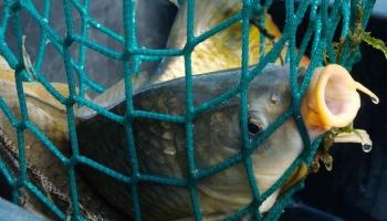 50 gados saldūdens migrējošo zivju populācijas Eiropā samazinājušās vidēji par 93%