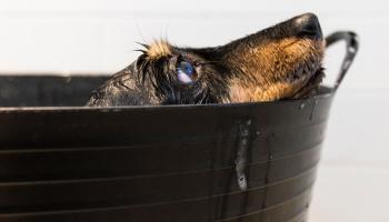 Kaķu un suņu kopšana vasarā un kāpēc pārāk bieža mazgāšana kaitē mīlulim