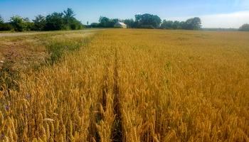 Graudaugu ražu Latgalē šogad prognozē labāku nekā pērn