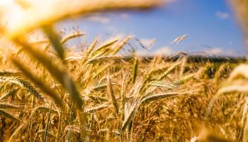 Lielās graudu ražas rudenī uzrāda augošu eksportu, tālākās prognozes nav tik rožainas