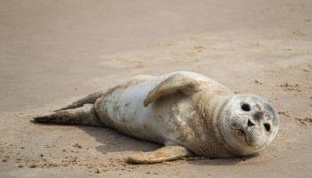 Nedēļas nogalē saņemti 200 zvani par roņu mazuļiem liedagā