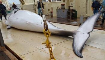 Japāna paziņojusi par komerciālo vaļu medību atsākšanu
