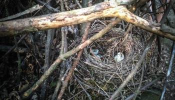 Top jauns Latvijas ligzdojošo un ziemojošo putnu atlants. Aicina ierakstīt dabas skaņas