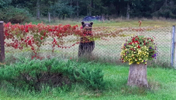 Lāči, kas siroja Valkas novadā, izšķirti un nogādāti uz mežu masīviem