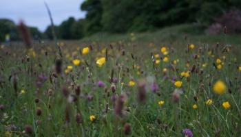 Ķemeru Nacionālajā parkā izmēģina bioloģiski vērtīgas pļavas atjaunošanu