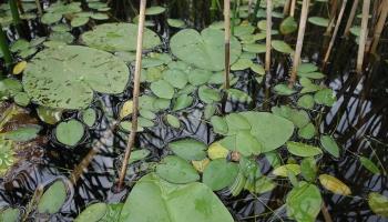 """Teiču purva ezera pētījumi. Latvijā atklāta jauna suga """"Caldesia parnassifolia"""""""