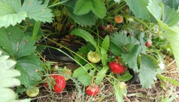 Lielajiem zemeņu audzētājiem daļa ražas iespējams paliks uz lauka